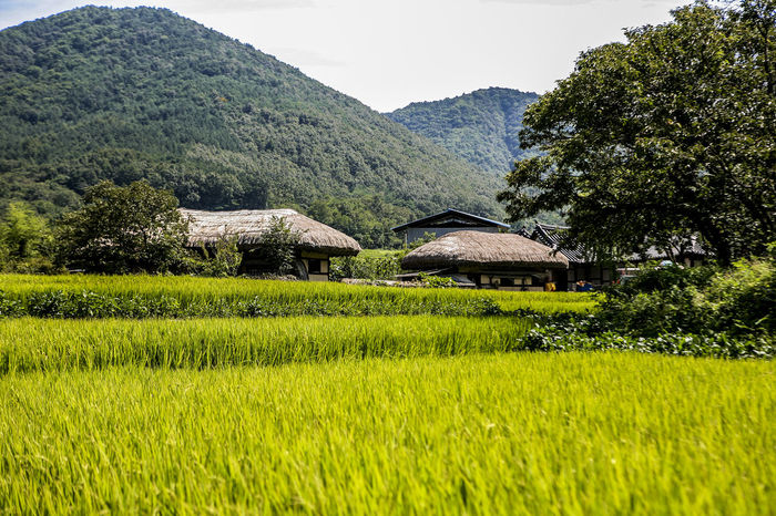 Agriculture Day Farm Folk Village Grass Green Green Color Growth Hut Landscape Leading Lush Foliage No People Outdoors Plant Relaxing Moments Remote Rice Field Rural Landscape Rural Scene Rural Scenes Thatched House Thatched Roof Tranquil Scene Village
