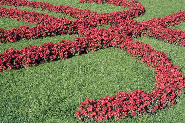 Begonia Flower Garden Flowers Pattern, Texture, Shape And Form Patterns In Nature Red Beauty In Nature Begonia Day Field Flower Flower Head Flowerbed Grass Green Color Growth Landscape Nature No People Outdoors Patterns & Textures Rural Scene Scenics Tranquility