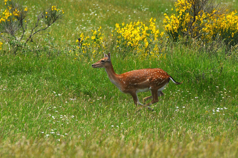 fawns in a field Fawns Animal Animal Themes Day Fawn Fawn😍 Grass Herbivorous Land Mammal Nature No People Plant