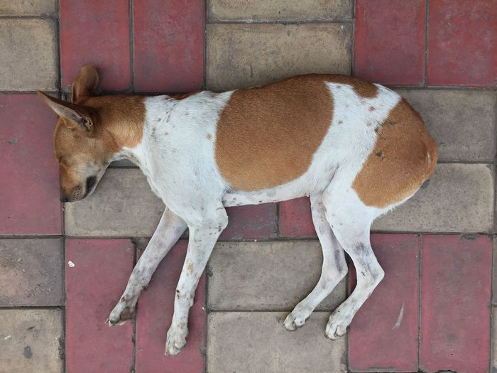 Animal Themes Mammal One Animal Dog Dogs Of EyeEm Delhi India Nap Siesta Napping Dogs TakeoverContrast