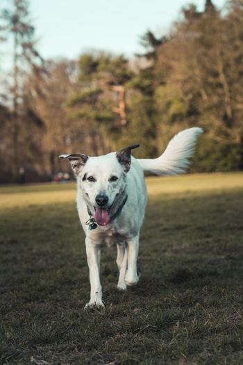 Beautiful white dog on a meadow in a public park on a sunny day. Mammal Animal Themes Animal One Animal Dog Pets Domestic Domestic Animals Canine Vertebrate Plant Land Focus On Foreground Field Tree No People Portrait Day Nature Standing Weimaraner
