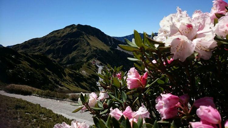 春季台灣高山花卉,森氏杜鵑。Taiwan