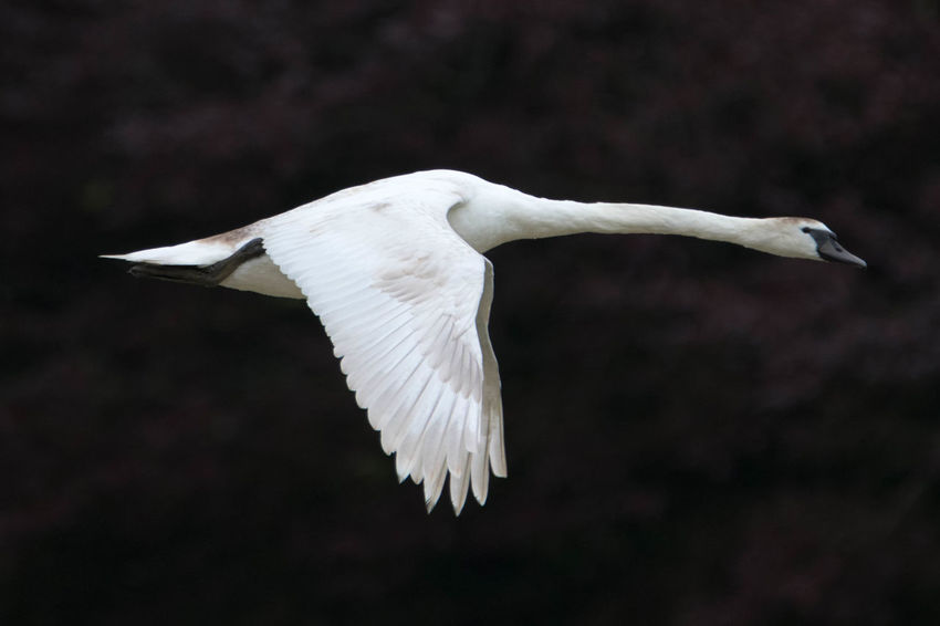 Animal Themes Animal Wing Animals In The Wild Beak Beauty In Nature Bird Black And White Flight Flying Flying Swan Focus On Foreground Nature No People Non-urban Scene One Animal Swan Tranquility Wildlife Zoology