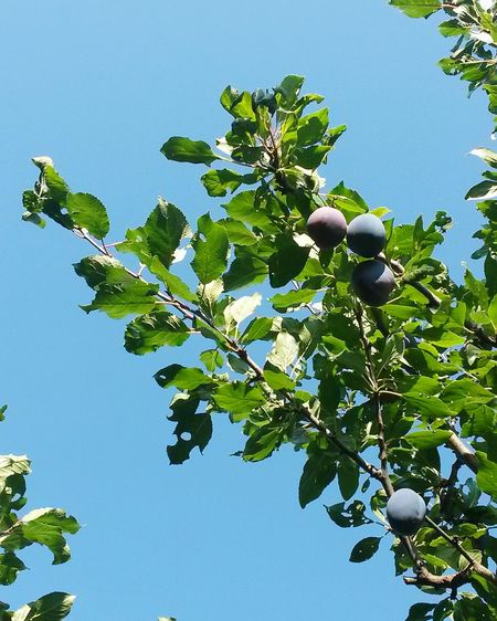 Fruit Nature Leaf Tree Blue Food Food And Drink Sky No People Day Branch Outdoors Agriculture Healthy Eating Freshness Social Issues Green Color Plant Beauty In Nature Growth Plums Plums Tree Plums On The Tree Pflaumen Pflaumenbaum