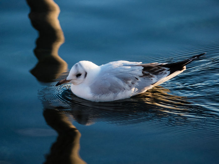 sea gull of clarity Animal Themes Animals In The Wild Bird Blue Color Clarity Close-up Composition Gull Lake Nature No People One Animal Outdoors Swimming Water Wavelets Waves