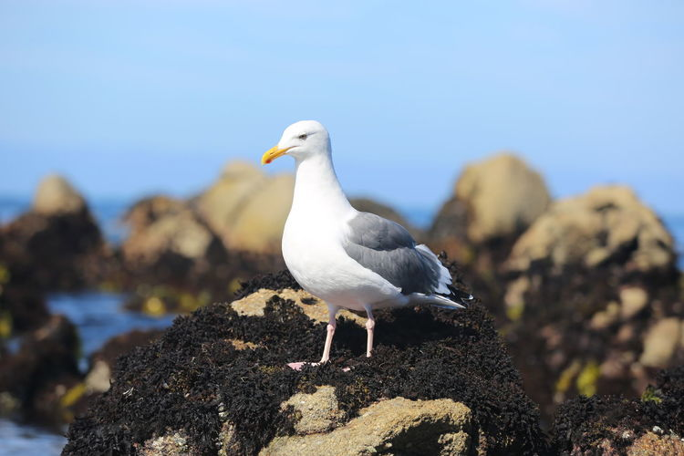 Alertness Animal Animal Themes Animals In The Wild Asilomar Asilomar Marine Reserve Balance Beak Bird California Curiosity Day Depth Of Field Flying Full Length Marine Reserve One Animal Perching Relaxing Seagull Selective Focus Side View Two Animals Wildlife Zoology
