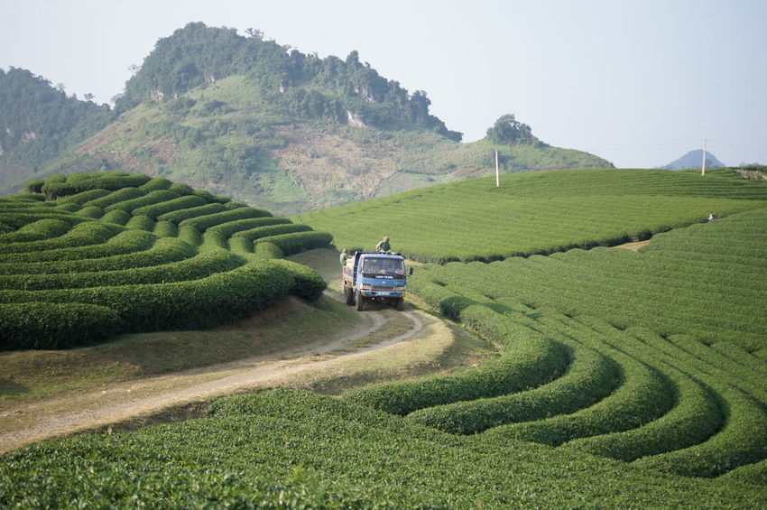 Truck carries tea harvest through the tea farm Tea Farm Agriculture Farm Field Mountain Scenics Tea Crop Truck