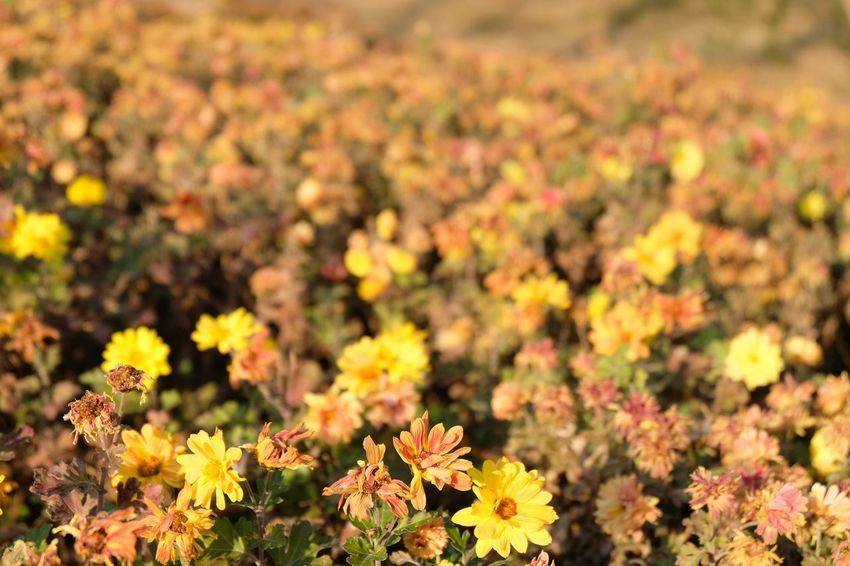 Outdoors Beauty Nature Nature_collection Garden Plant Yellow Yellow Flower Yellow Color Yellow Flowers Blossom Chrysanthemum Chrysanthemums Chrysanthemum Garden Beauty In Nature Beautiful Atumn Colors Flower Flwoers Day Nature No People EyeEmNewHere Blossom Wildflower Plant Life