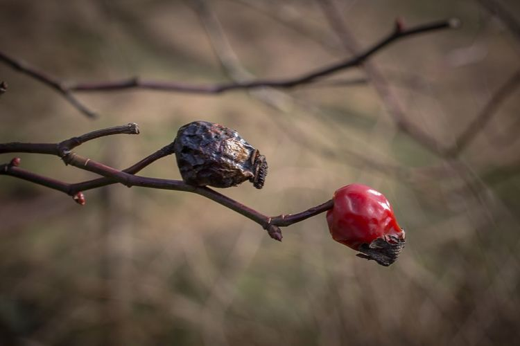 The red and the black twin - its a question of time Hagebutten Rose Hip Fall Autumn Colours Macro Photography