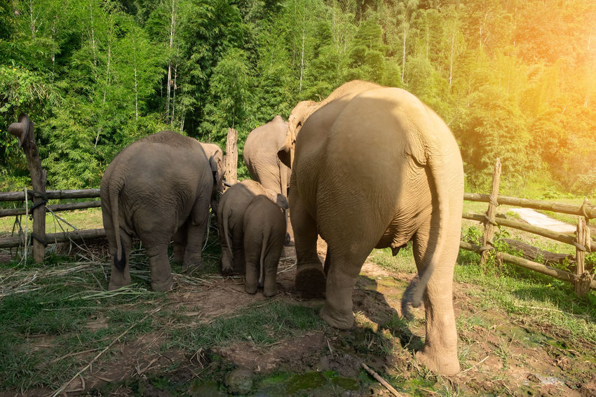 Animal Themes Animal Group Of Animals Mammal Animal Wildlife Animals In The Wild Elephant Plant Tree Vertebrate Animal Family Land Nature No People Day Forest Outdoors Asian  Thailand Rear View Baby Young Walking Woods