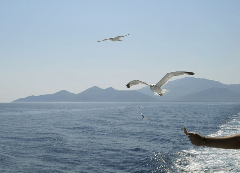 feeding seagulls from a ferryboat in Greece Animal Wildlife Arm Beauty In Nature Bird Birds Clear Sky Day Feeding  Flying Food Greece Gull Hand Mediterranean  Mid-air Nature Navigation Scenics Sea Seagull Seagulls Sky Spread Wings Water Waterfront