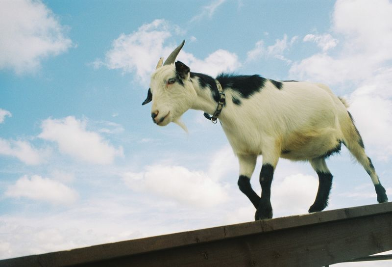 Goat ヤギ 動物 雲 空 ロモグラフィ フィルム写真 山羊 ヤギ Lomography Filmphotography Farm Goat Animal Themes Cloud - Sky Sky Animal One Animal Mammal Nature Day No People Outdoors Side View Herbivorous Low Angle View Livestock Nature Domestic Animals Livestock