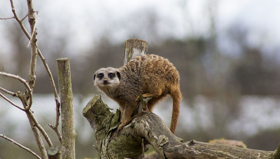 Animal Wildlife Animal Nature Animals In The Wild Branch No People One Animal Outdoors Day Meerkat Meerkat, Cute Animals, Furry, Animal Close Up, Yellow, Zoo, Zoo Pics, Meerkat Pics