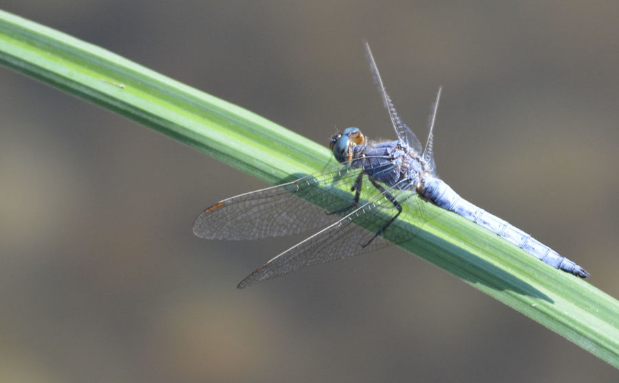 Animal Animal Themes Animal Wildlife Animal Wing Animals In The Wild Blade Of Grass Close-up Damselfly Day Focus On Foreground Grass Green Color Insect Invertebrate Nature No People One Animal Outdoors Plant Zoology