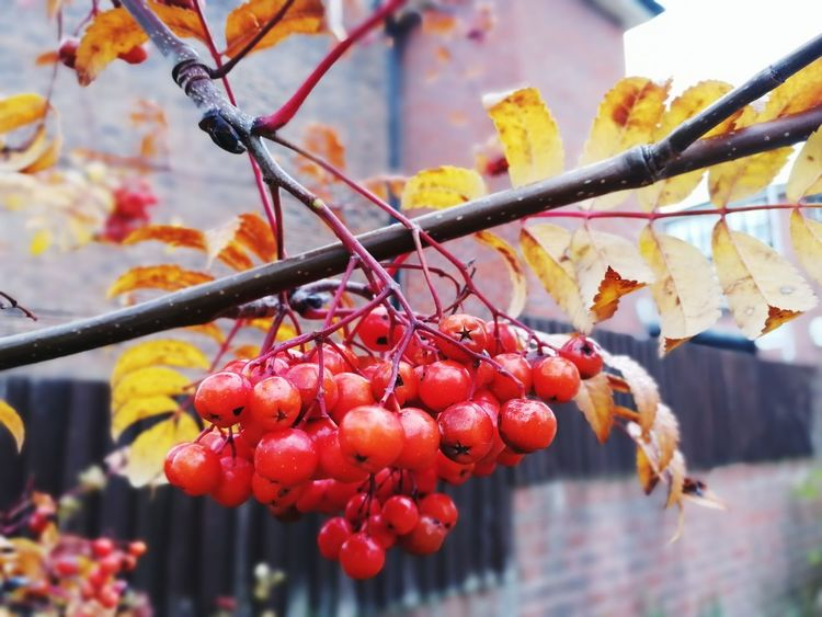 Ash Eberesche Herbst Herbsttag Fall Colors Herbstfarben Tree Fruit Autumn Red Branch Leaf Close-up