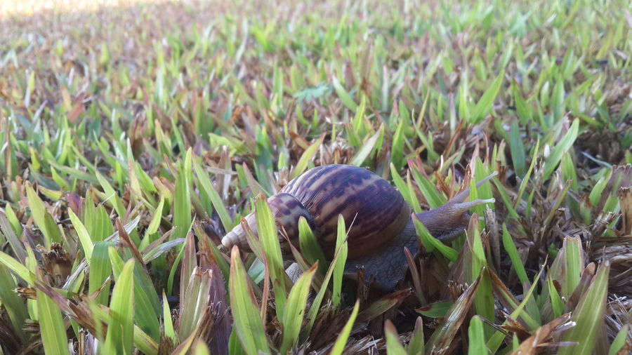 หอยทาก Animal Themes One Animal Nature Animals In The Wild Field Grass Outdoors No People Close-up Day