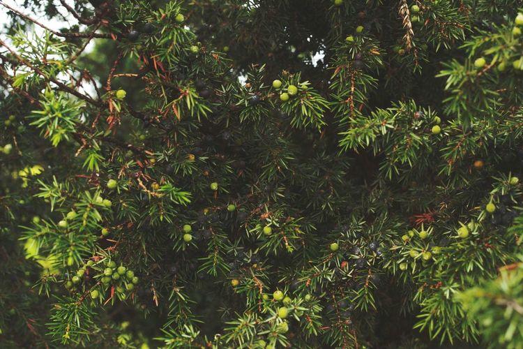 Estonia Nature Tree Berries Juniperus Communis
