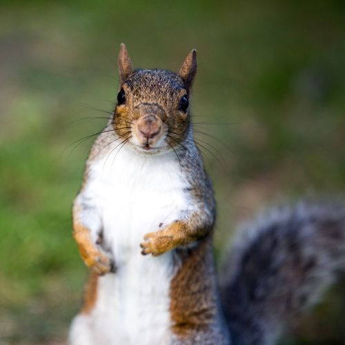 EyeEm Selects One Animal Animal Themes Animals In The Wild Squirrel Focus On Foreground No People Day Outdoors Nature Mammal Close-up Animal Wildlife Looking At Camera Portrait