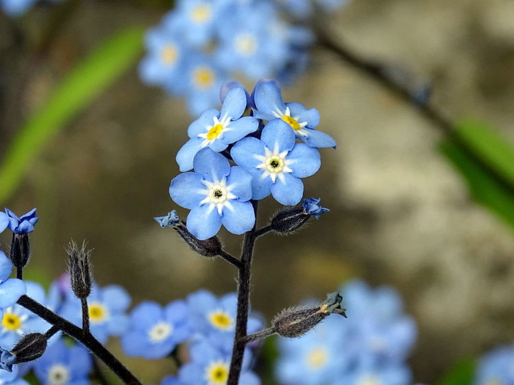 Beauty In Nature Blooming Close-up Day Flower Flower Head Focus On Foreground Forget Me Not Fragility Freshness Growth Nature No People Outdoors Petal Plant Springtime White Color