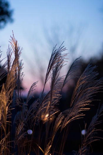 Plant Growth Sky Nature Close-up Focus On Foreground No People Tranquility Beauty In Nature Selective Focus Outdoors Land Sunset Field Crop  Grass Day Cereal Plant Agriculture Stalk Timothy Grass Japanese Grass Garden Photography Light Up The Night Sweden