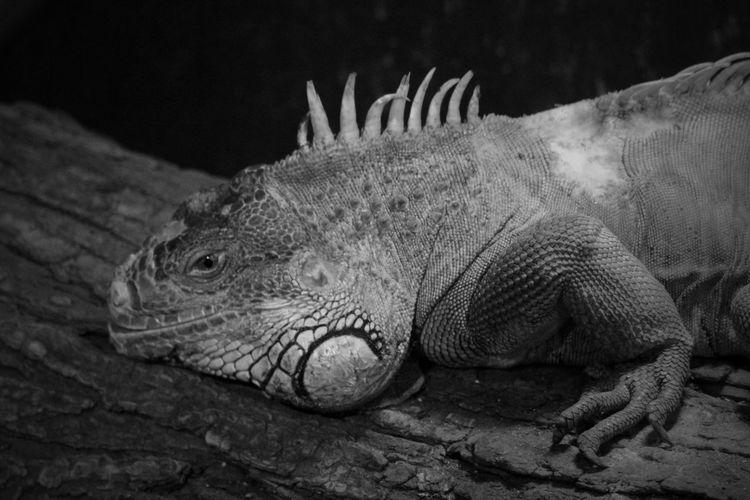 Close-up of iguana on wood at zoo
