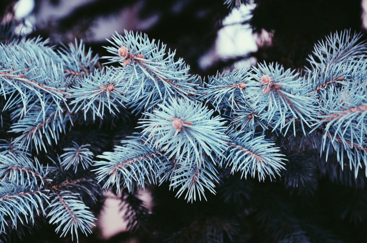 Close-up of pine tree branch