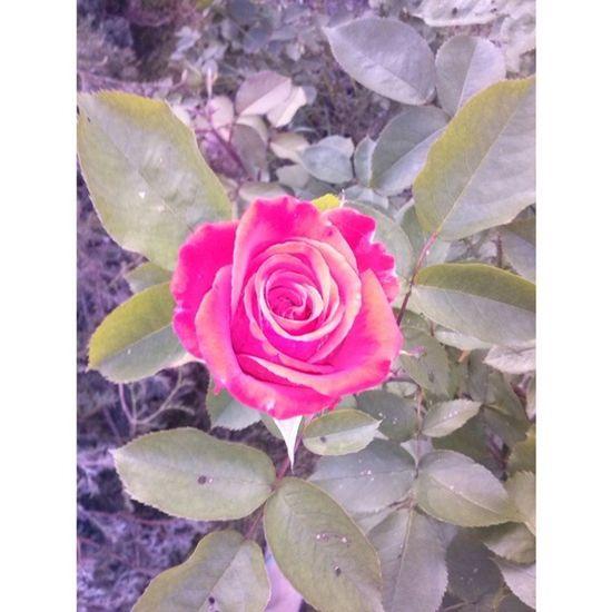 Piekna Roza W Ogródku