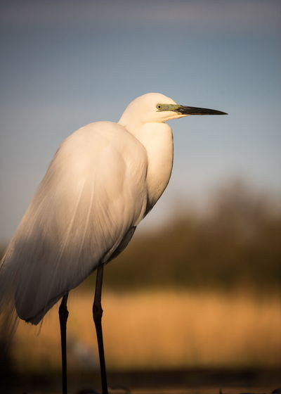 Great egret against sky