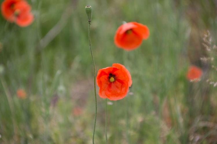 plant poppy