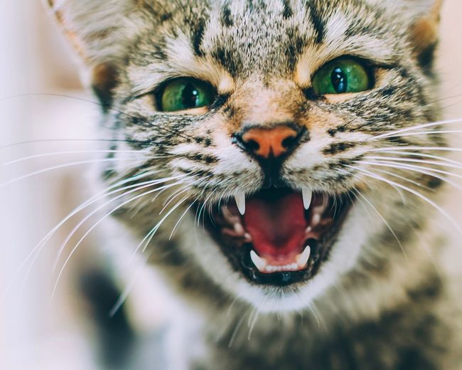 Cat Cat Animal Themes Animal Mammal Feline Mouth Mouth Open One Animal Animal Body Part Portrait Looking At Camera