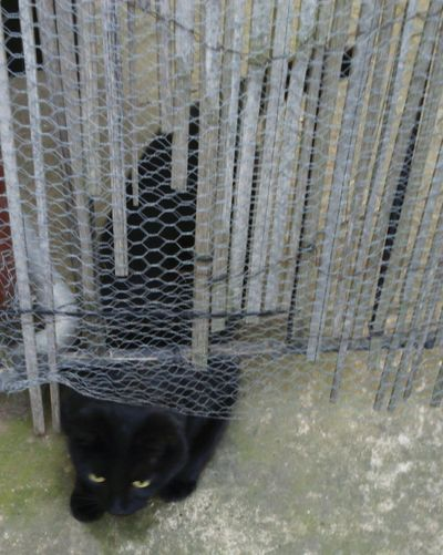 Squezing Cat Squeeze Squeezing Under Under The Gate Cat Cats Feline Cat Lovers Black Cat Ragdoll Cat My Cat Clever Cat Lucky Black Cat Bamboo Fence Cats Of EyeEm EyeEm Cats Wire Mesh Mesh Wire Fence