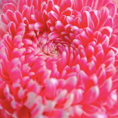 Full frame shot of pink dahlia
