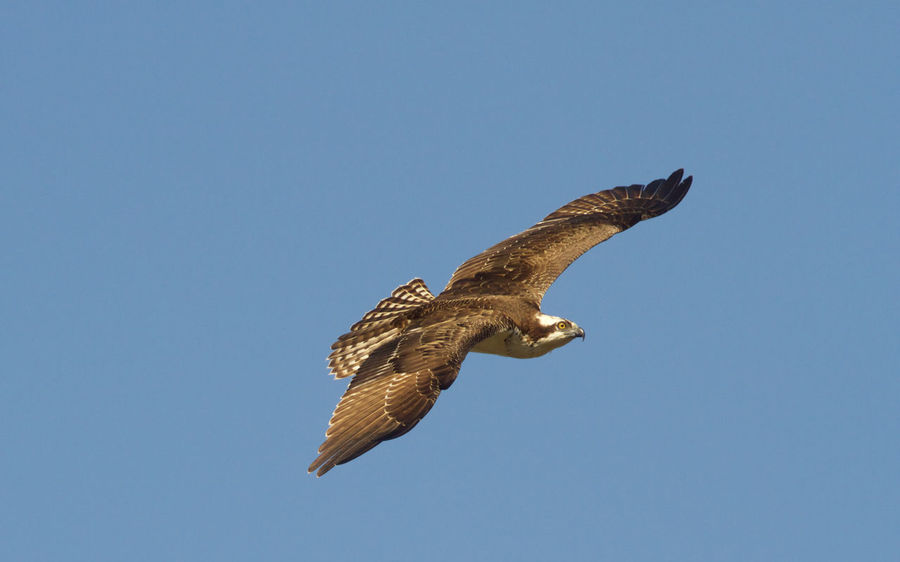 Animal Themes Animal Wildlife Animals In The Wild Bird Bird Of Prey Clear Sky Day Fish Hawk Flying Flying Bird Nature No People One Animal Outdoors Pelican Spread Wings