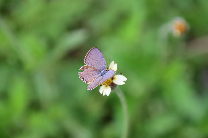Insect Flower Focus On Foreground Butterfly - Insect Nature Animals In The Wild Animal Themes Plant No People Animal Wildlife Outdoors Close-up Day Freshness Beauty In Nature Macro Photography Lesser Grass Blue Butterfly Macro Butterfly