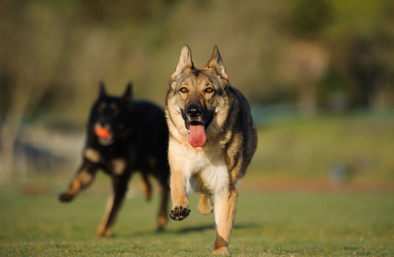 Action Action Shot  Dog German Shepherd No People Outdoors Pet Shepherd Sport