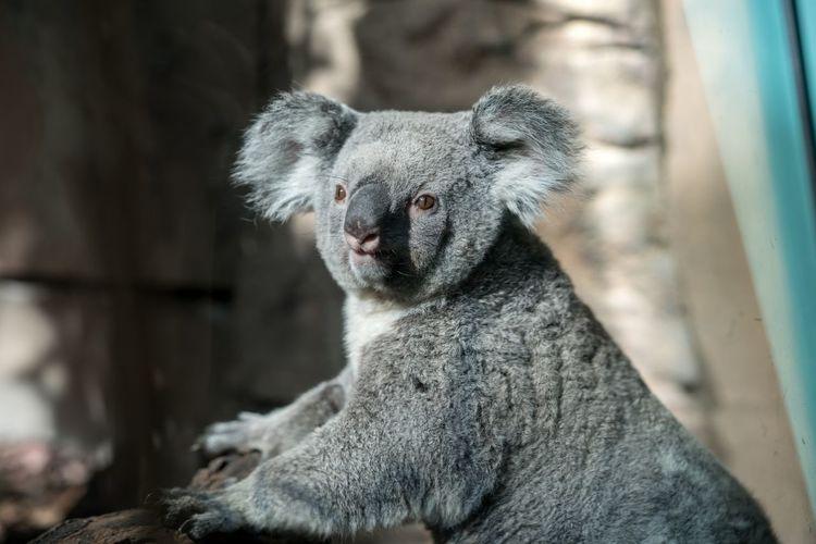 Close-up portrait of koala at zoo