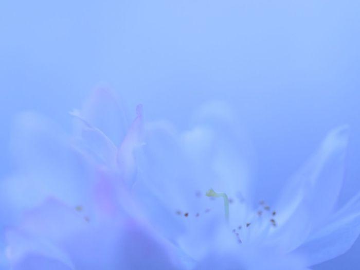 Sakura in autumn Cherry Blossoms Sakura 十月桜 Petal Flower Fantasy My Fantastic World Fujifilm Xf60 Pro Neg. Hi Shades Of Blue http://youtu.be/gh5iBlzJzXk