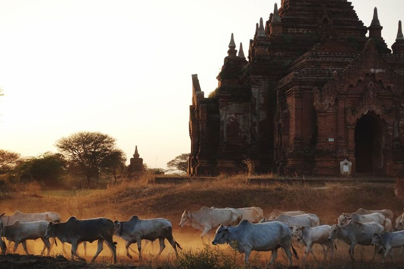 Ancient temple in bagan, myanmar, by sunset with a herd of cows passing by