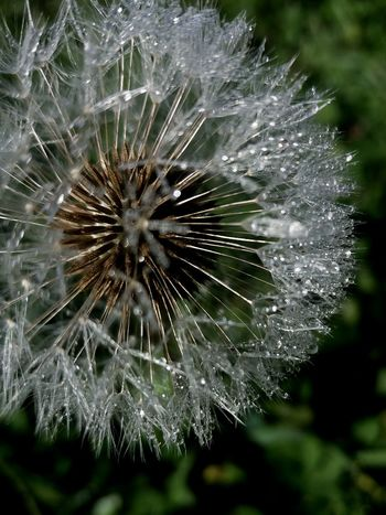Fragility Dandelion Nature Softness Beauty In Nature Outdoors Dandelion Seeds Close-up Dandelion Macro Drop Dew Drops Dandelion Dew Dew Drops On Flower Flower No People Day Plant Focus On Foreground Growth Freshness Flower Head
