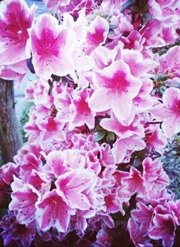 Flowers FlowerPink Spring Flowers Beautiful Nature Nature_collection EyeEm Nature Lover Flowerlovers Photooftheday Beautifulflowers Instagram