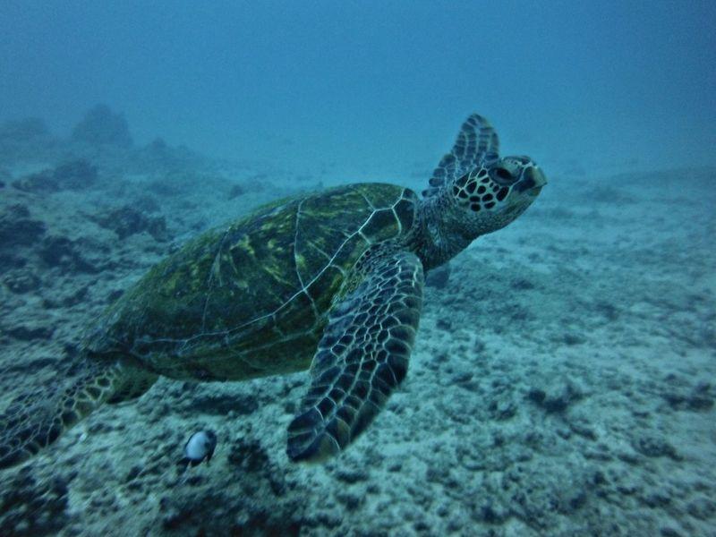near!! 海亀が近くて感激です Diving