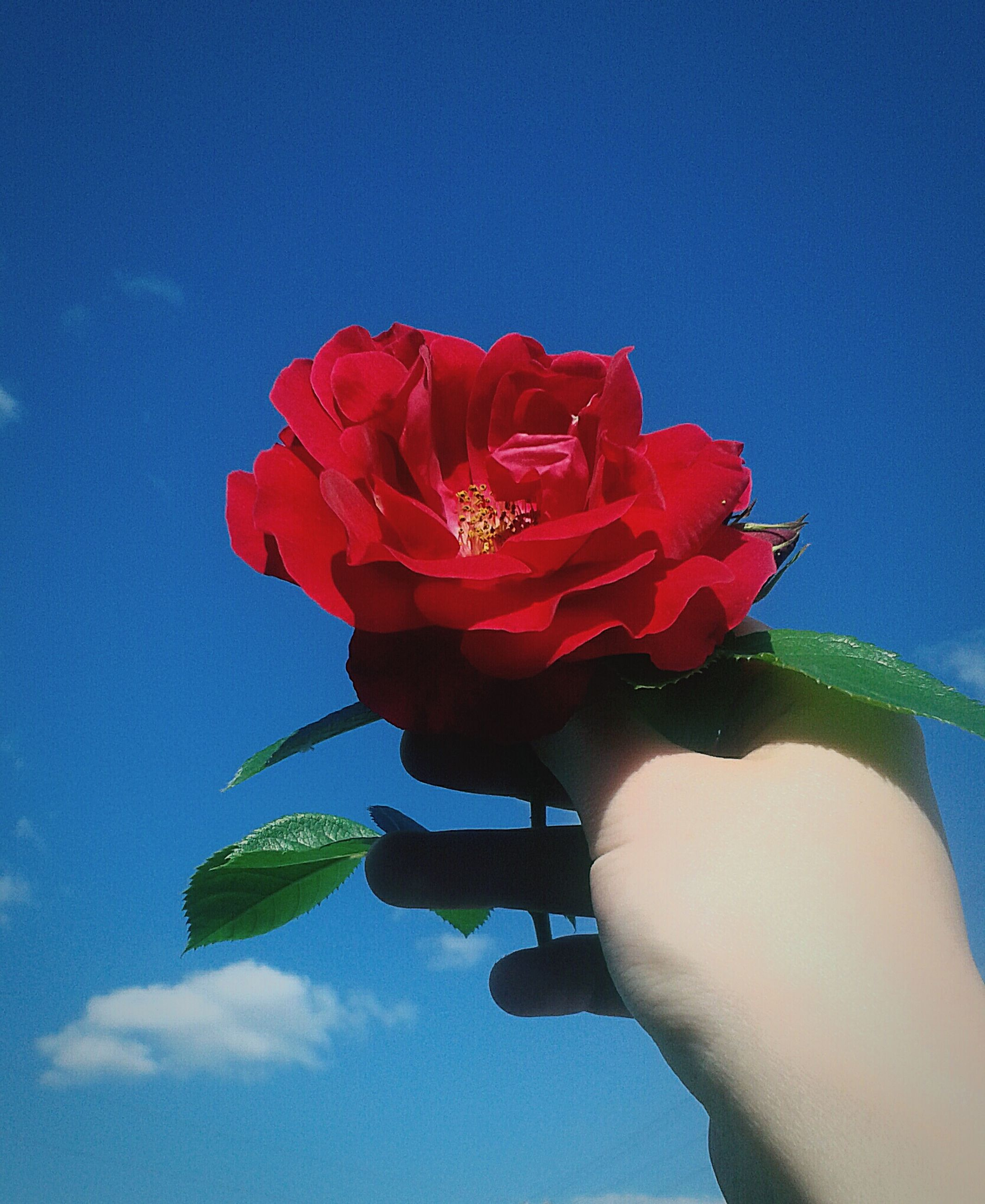 flower, human hand, one person, red, human body part, sky, petal, holding, adults only, people, cloud - sky, close-up, flower head, fragility, adult, freshness, beauty in nature, nature, outdoors, one woman only, day, only women
