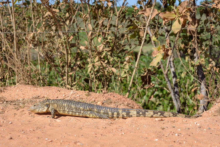 Side view of a reptile on a land