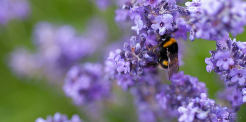 Bee Lavender Northern Ireland Fermanagh Wildlife Nikon