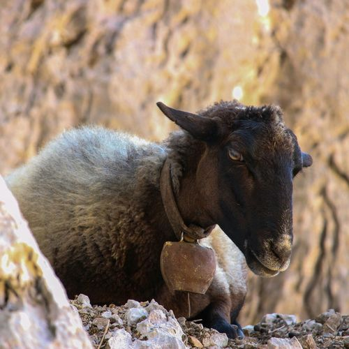 One Animal Animal Themes Animals In The Wild Mammal Animal Wildlife No People Nature Day Outdoors Beauty In Nature Mountain Goats Goat