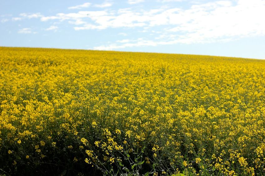 rapeseed field blooming Abundance Agriculture Beauty In Nature Cloud - Sky Crop  Day Field Flower Fragility Freshness Growth Landscape Mustard Plant Nature No People Oilseed Rape Outdoors Plant Rural Scene Scenics Sky Springtime Tranquil Scene Tranquility Yellow