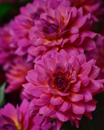 Flowering Plant Flower Petal Fragility Vulnerability  Plant Inflorescence No People Focus On Foreground Magenta Botany Purple Dahlia Nature Growth Pink Color Close-up Freshness Beauty In Nature Flower Head