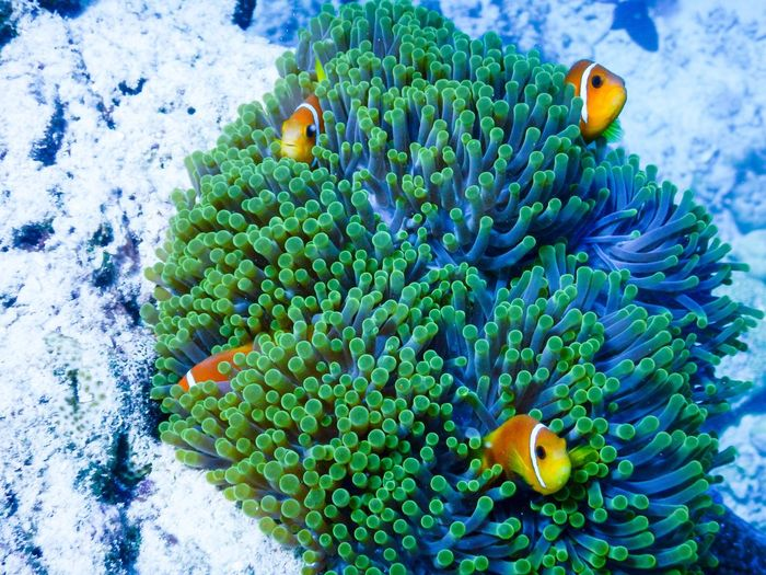 Coral Animal Themes Animal Animal Wildlife Underwater Sea Life Animals In The Wild Sea Green Color Nature Fish No People Clown Fish Beauty In Nature Water Marine