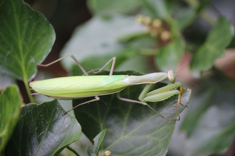 Insect Green Color Nature MantisReligiosa Mantis Mantis Religiosa