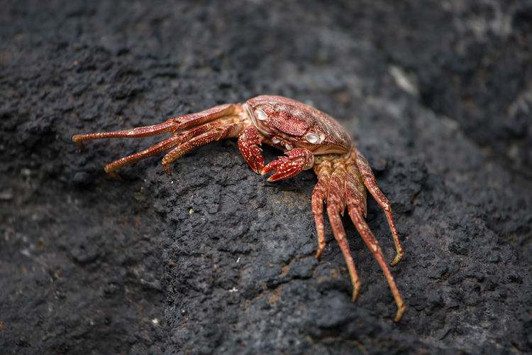 Close-up of red crab on rock